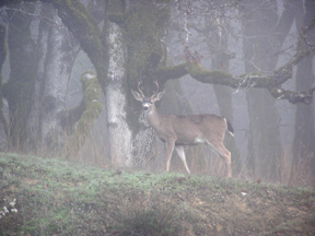 Buck standing at attention in the morning mist.
