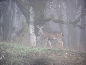 A buck standing at attention in the morning fog.