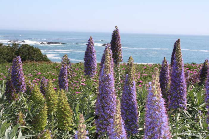 Lupin flowers in full bloom
