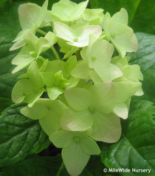 Close up on a young white Nigra Mandshurica Hydrangea