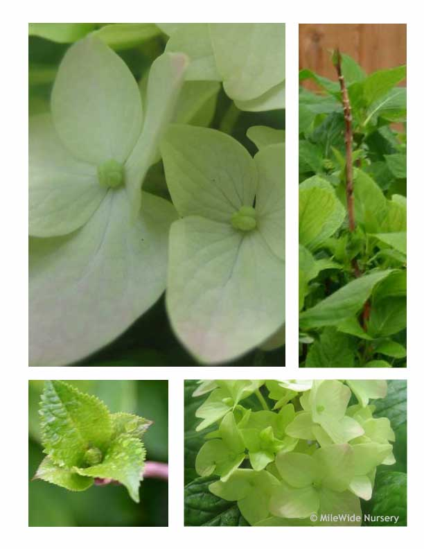Four images of Nigra Mandshurica Hydrangea at varied stages of development.