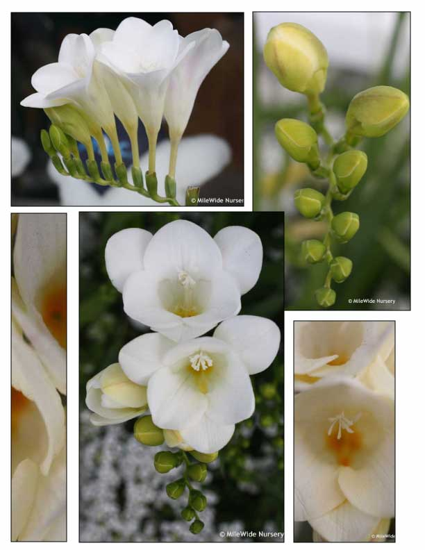 Five varied photos of white trumpet flowers.