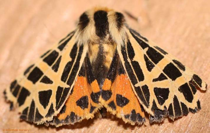 Moths often spread their wings to appear larger and discourage predators (notice the bright colored underwings)