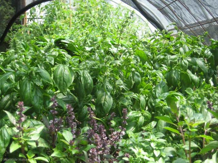 A forest of basil, with tomatoes growing tall in the background.