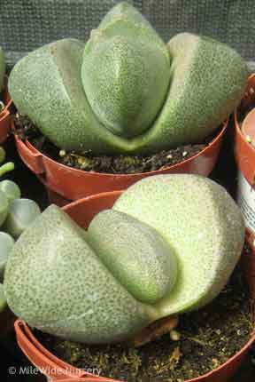 "This is my favorite one.  Called a ""Split Rock"" or ""Living Rock"" (Pleiospilos Nelii)"