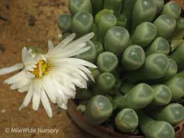 succulent-babytoeflower_023