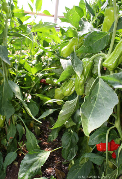 A forest of peppers.