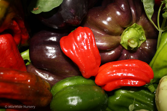 Purple bellpeppers, red pepperoncinis.