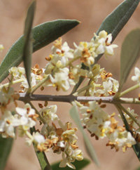 olive_flowers