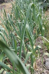 2015_garlic