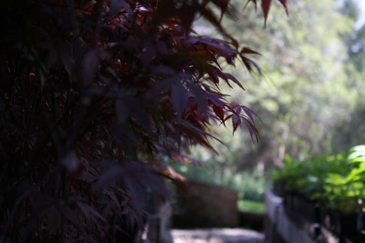 MaplesW:oaks_0759