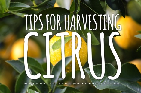 TIPS FOR HARVESTING CITRUS