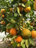Satsuma Oranges