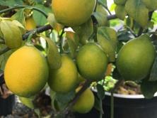 Lemon color progress